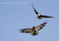 "Bald Eagles • <a style=""font-size:0.8em;"" href=""http://www.flickr.com/photos/63501323@N07/13128739105/"" target=""_blank"">View on Flickr</a>"
