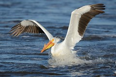 American white pelican landing [4113] (cl.lin) Tags: bird nature river mississippi nikon midwest wildlife birding mississippiriver americanwhitepelican d600 sigma50500mm lockanddamno14