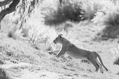 WAP140406_167 (orca_bc) Tags: california cats cat cub feline sandiego lion lions cubs lioness lioncub escondido lioncubs panthera 4monthsold lioncamp pantheraleo felidae pantheratigristigris