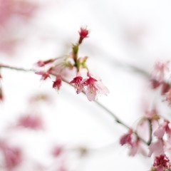 Touch of Spring (andy in nyc) Tags: park new york city nyc pink tree nature cherry island blossom bokeh 58mm nokton voigtlnder staten clovelakes