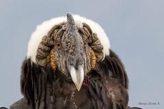 CONDOR DE LOS ANDES, MACHO ADULTO, (Vultur gryphus), Andean Condor. (Sergio Bitran M) Tags: chile bird southamerica ave condor 2012 sudamerica cathartiformes