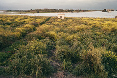 field of artichoke plants (gorbot.) Tags: plants field spring rangefinder agriculture lightroom mmount leicam8 voigtlander28mmultronf19 vscofilm