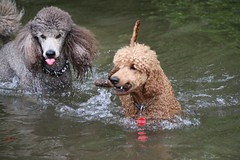 A few of the gang and Gypsy (itzapromisepoodles) Tags: standardpoodle apricotpoodle redpoodle phantompoodle itzapromise