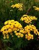Tanacetum (irrishkas) Tags: flowers flower tanacetum цветы цветок пижма