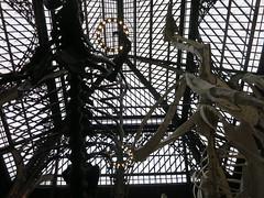 Tyrannosaur and Giant Chicken (cleanskies) Tags: ounhm oxfordnaturalhistorymuseum museum tyrannosaur chicken giantchicken skeleton