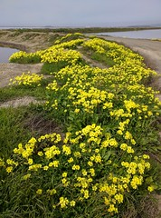 wildflowers alviso alvisomarinacountypark... (Photo: tourtrophy on Flickr)