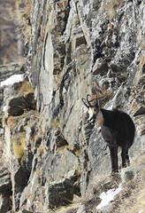 Camosci14 (Lunghefocali.snc) Tags: camoscio rupicaprarupicapra dolomiti valdifiemme trentino altamontagna biancoenero wildlife nature