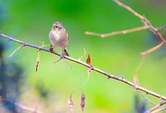 Fringuello (femmina) (IvanFas) Tags: finch fringuello nature natura uccelli birds animals animali
