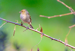 Fringuello (femmina) (IvanFas) Tags: finch fringuello birds uccelli animals animali