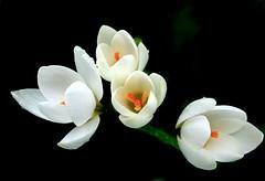 Creamy Crocus (Pufalump) Tags: crocus flower petals white orange yellow nature green stem macro
