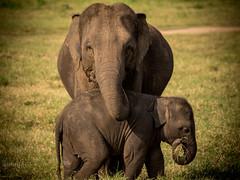Mother: love and shelter (Adelmeister) Tags: elephant elefant tier wildlife wild nature natur eos canon 7d2 7d ii mark ef100400lisusm ef100400 100400 l is usm ef little animal pet