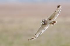 Short-eared owl (Marvandae) Tags: velduil shortearedowl uitkerksepolder asioflammeus