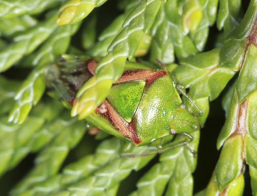 Juniper Shieldbug - Cyphostethus tristriatus