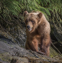 Grizzly Bear (Turk Images) Tags: britishcolumbia coastalrainforest greatrainforest grizzlybear ktzimadeengrizzlybearsanctuary khutzeymateengrizzlybearreserve maritimecoast ursusarctoshorribilis breedingseason bears mammals ursidae m