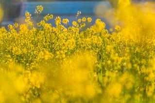 Spring Morning 菜の花畑