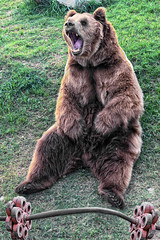 BEAR04W (Glenn Losack, M.D.) Tags: bears animals weights health lifting gyms bearly fit working out