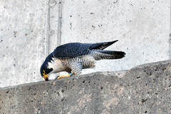 Peregrine Falcon (JPhotographyMpls) Tags: water st river mississippi paul 1 lock dam minneapolis falcon peregrine
