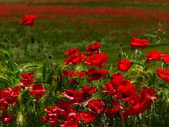 """Primavera :colore Rosso (""""AMAR"""") Tags: rosso colori lombardia luce papavero pianurapadana borgofranco"""
