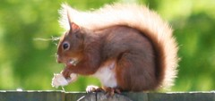 Squirrel (pjmac2011) Tags: 21st may swans etc nairn