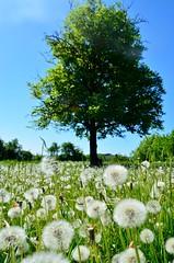 Living in Bloom (Alexandru Budeanu) Tags: rural corner leaving freedom countryside spring sweet hill memories may windy romania bloom vaslui