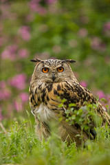 Eagle owl (tiny_packages) Tags: uk kent eagle wildlife centre owl british