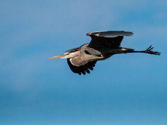 051613-5070076 (jim sonia) Tags: usa bird birds massachusetts places greatblueheron plumisland