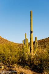 Tucson Mountain Park [5675] (josefrancisco.salgado) Tags: arizona cactus usa southwest cacti us flora nikon desert tucson unitedstatesofamerica desierto saguaro nikkor cacto d4 tucsonmountainpark 2470mmf28g 2013042515675