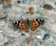 Painted Lady Butterfly (stevedb10) Tags: butterfly bay isleofwight paintedlady totland