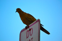Lookout (Ivan B.R.) Tags: sky bird fly watching pidgeon