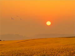 sunrise overrapefield (hlh2108) Tags: summer sky sun nature birds sunrise germany landscape colours sommer himmel landschaft sonnenaufgang farben rapsrape