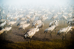 Cranes in the mist (Ran Z) Tags: morning mist lake nature birds israel hula cranes valley planty gettyimagesmiddleeast