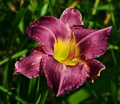 Lily (deanrr) Tags: flower lily purple alabama bloom morgancountyalabama