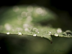 On the Edge (R. J. Thomas) Tags: rain leaf peony raindrops waterdroplets omd sometimesitsagoodthing