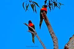Stunning Lorikeets (Live Each Adventure Through The Lens) Tags: birds animals skyline photography rainbow australia adelaide salisbury southaustralia lorikeets