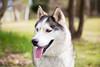 Shesha (Gertrude139) Tags: dog happy husky siberianhusky eleven sibe bieyed arcticbreedrescue