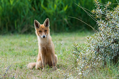 Young Fox (a3aanw) Tags: amsterdamsewaterleidingduinen