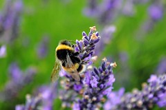 (Nancy.72) Tags: nature lavender bee flickrandroidapp:filter=none