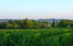 Home (mmicho) Tags: morning light summer france green nature vineyard lumire vert t vignes matin lzan