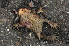 Verkehrsopfer (gripspix) Tags: death toad roadkill asphalt tod runover kröte überfahren verkehrsopfer strasenbelag 20130809