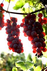 Jour 10 - Les vendanges tardives (Projet31) Tags: nature automne rouge noir alsace vin vigne raisin pinot cep grappe cèpe sucré pépin