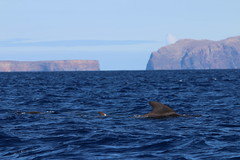 genus: Globicephala. Short-finned Pilot Whale - Madeira, Portugal