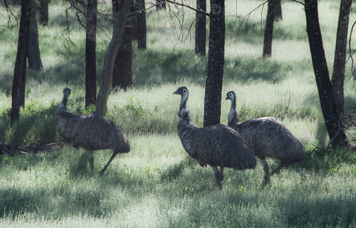 Emus under the trees