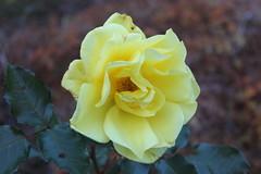 Kamp mot tiden (auzgos) Tags: vinter blomma ros gul höst kamp färger fotosondag fs131020