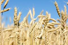 Bl 2 (jourduf) Tags: rural champagne agriculture t campagne bl rcolte premieremoisson