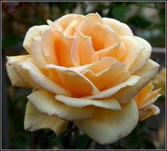Rose (photosylvia / silabox) Tags: fleur rose