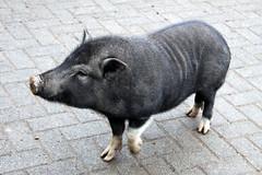 Schwein - Neunkircher Zoo 01 (Stefan_68) Tags: animal germany deutschland zoo pig tierpark tiergarten schwein tier saarland neunkirchen neunkircherzoo