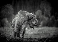 Winter's coming (Digisnapper (George)) Tags: winter nature bison europeanbison highlandwildlifepark winterscoming