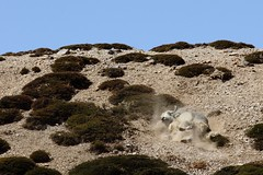 Mordre la poussire (thomas@photo) Tags: voyage trip india trek canon eos zanskar ladakh inde 550d