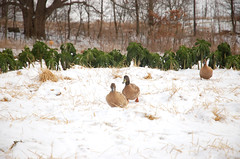 "Ducks with Winter Kale <a style=""margin-left:10px; font-size:0.8em;"" href=""http://www.flickr.com/photos/91915217@N00/11283220986/"" target=""_blank"">@flickr</a>"
