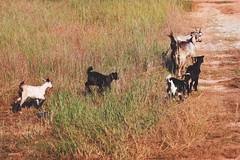 Goats on the field, India (iamgreenfin) Tags: india fort kerala kochi munnar kannur